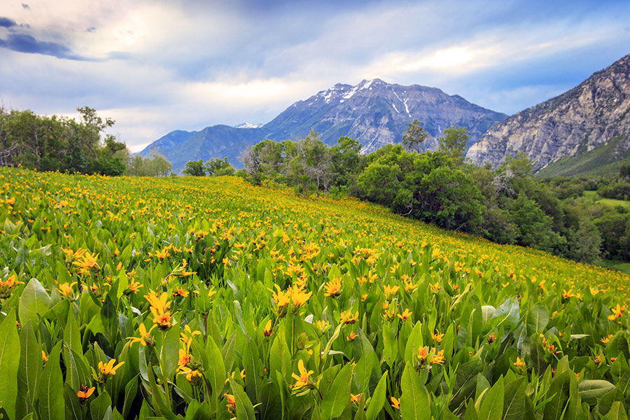 Orem Insurance - Grassy Field with Yellow Flowers and a Mountain Backdrop